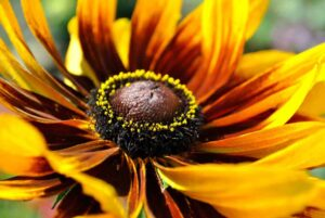 A close-up image of a yellow and brown flower that shows the center of the flower along with the petals outstretched in the background.
